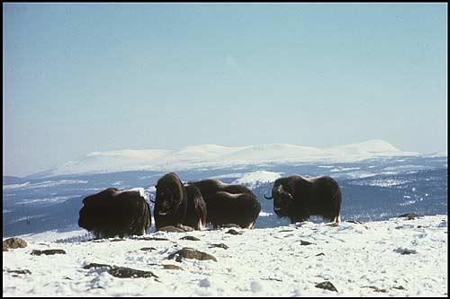 Andra vintern 1972 - Sonfjället i bakgrunden