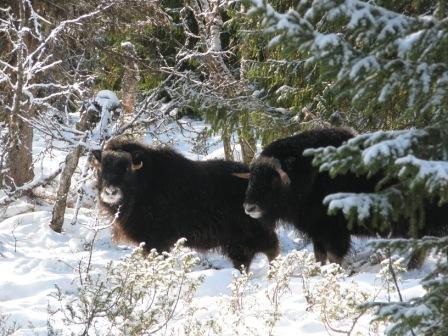 En ung ko och en ung tjur från Tromsö Universitet