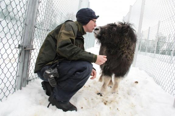 Myskoxskötare Hielke bekantar sig med en unga kon